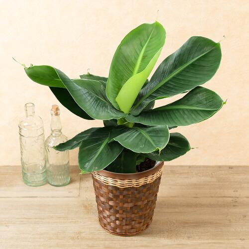 鉢植え「ミニバナナ」