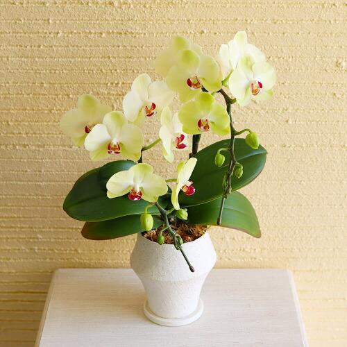 鉢植え「幸せの黄色い胡蝶蘭」