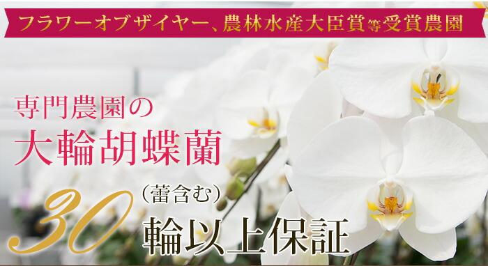 白大輪3本立ち胡蝶蘭