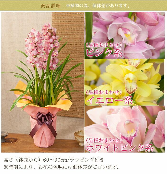 花色選べる豪華4本立ち シンビジューム シンビジウム