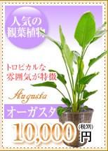 観葉植物 オーガスタ