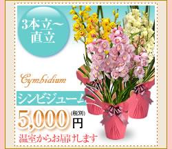 シンビジューム5000円