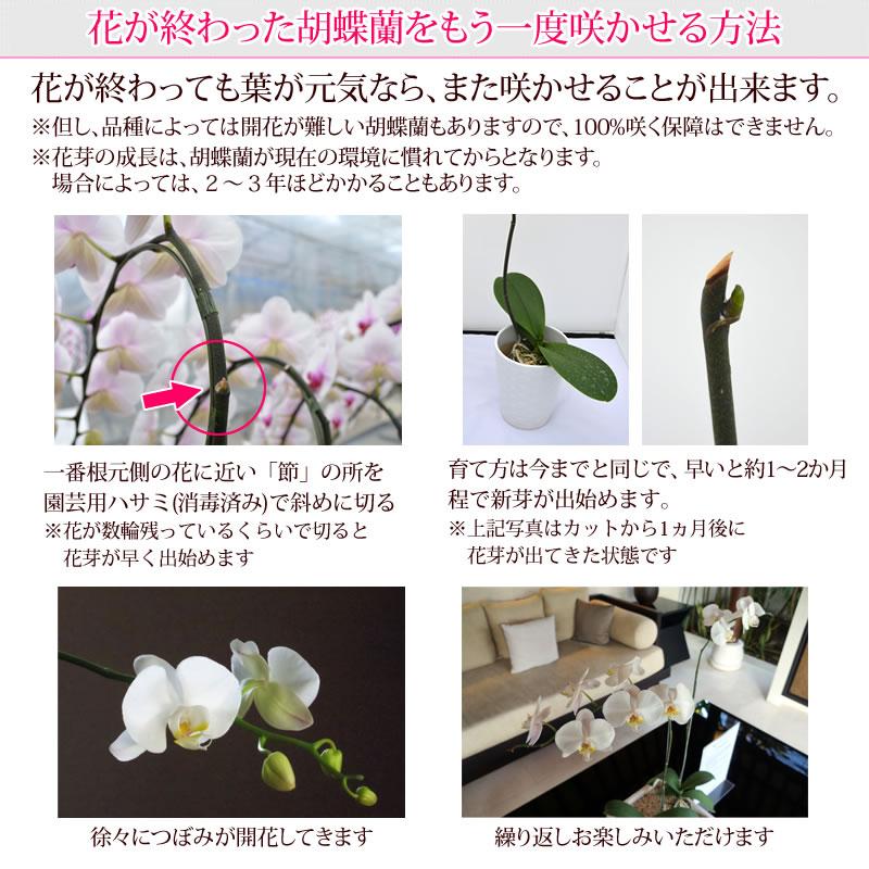 花が終わった胡蝶蘭をもう一度咲かせる方法