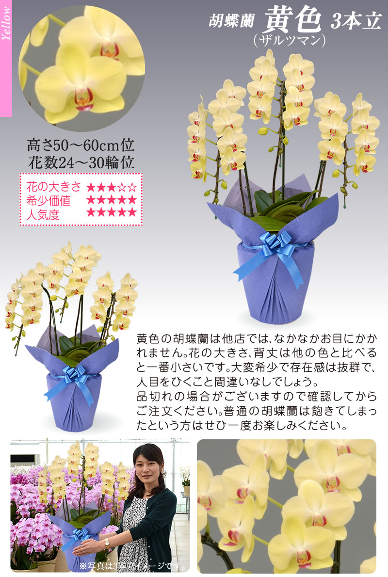 胡蝶蘭 黄色3本立
