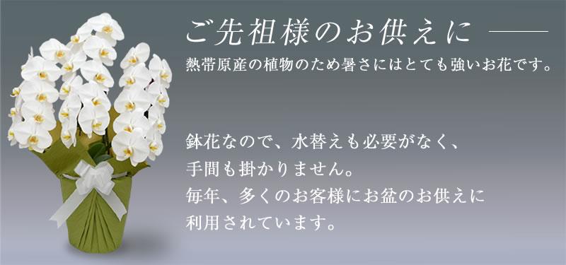 胡蝶蘭は多くのお盆に利用されています