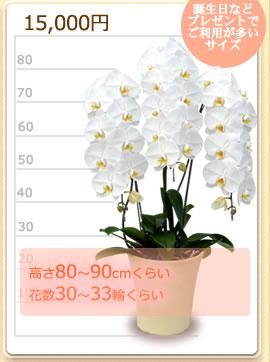 15000円の胡蝶蘭