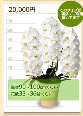 20000円の胡蝶蘭