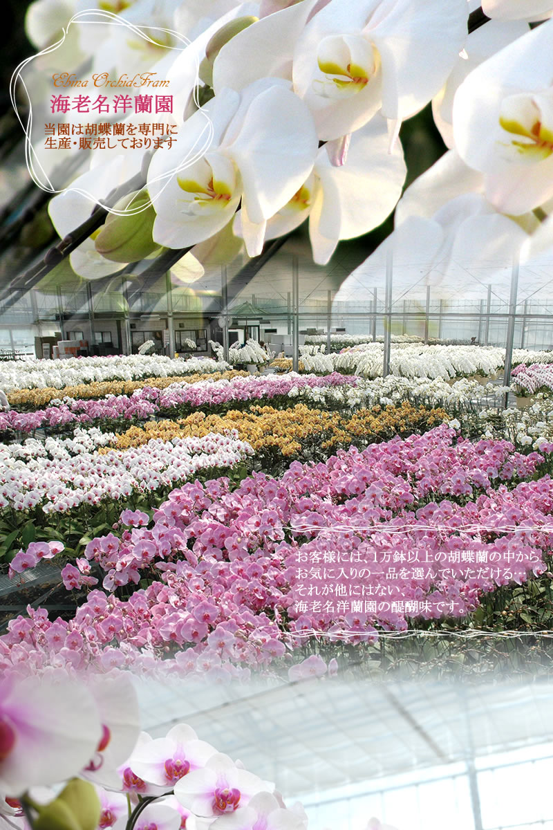胡蝶蘭の生産・販売