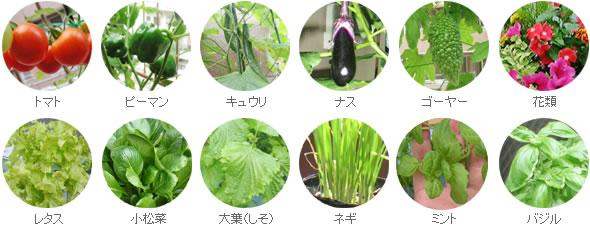 水耕栽培キットアクアプランター(循環式)栽培例