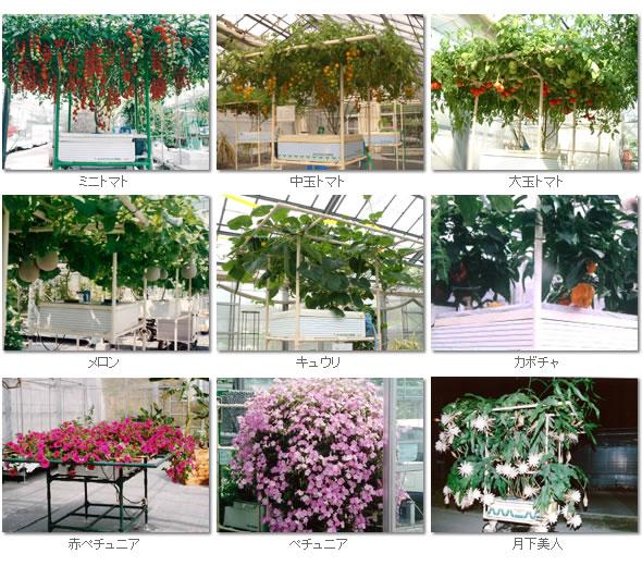 ホームハイポニカ303栽培例
