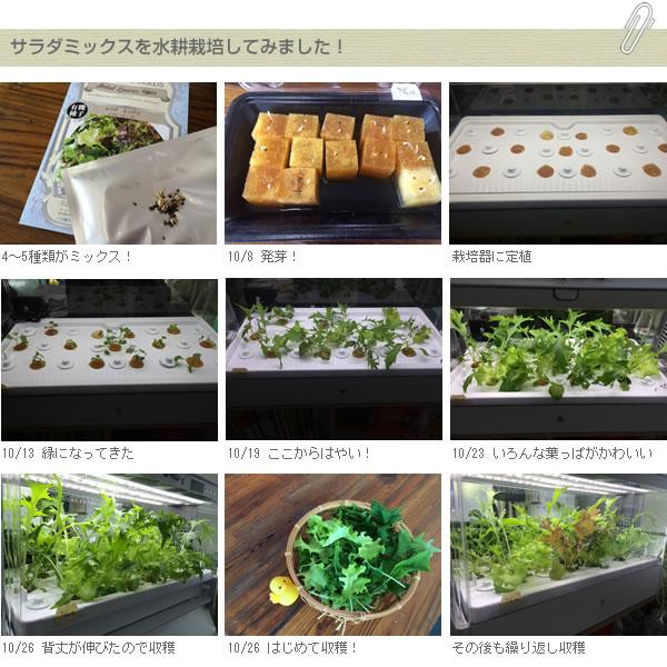 サラダミックスの水耕栽培