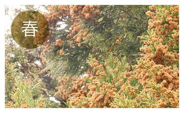 【春】スギなどの花粉対策に