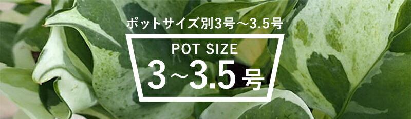観葉植物特集:ポットサイズ別 3号〜3.5号