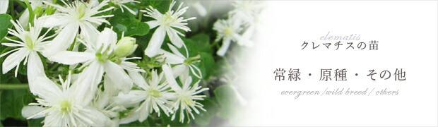 クレマチスの苗:常緑・原種系・その他