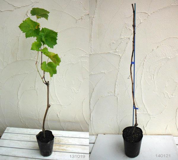 果樹の苗/ブドウ:シャインマスカット挿木苗4~5号ポット