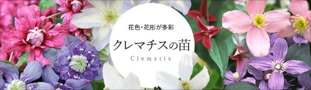 クレマチス