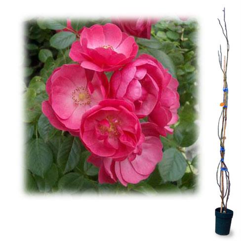 [長尺バラの大苗予約:第二弾]つるバラ:アンジェラ大苗長尺6号ポット