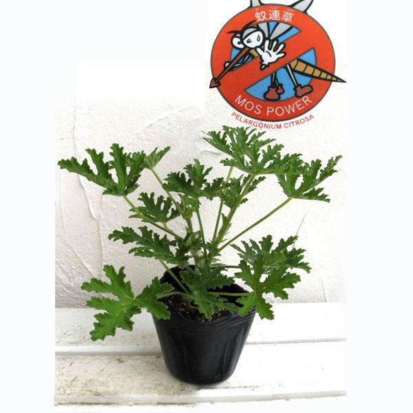 蚊連草(蚊よけ植物かれんそう)3号ポット
