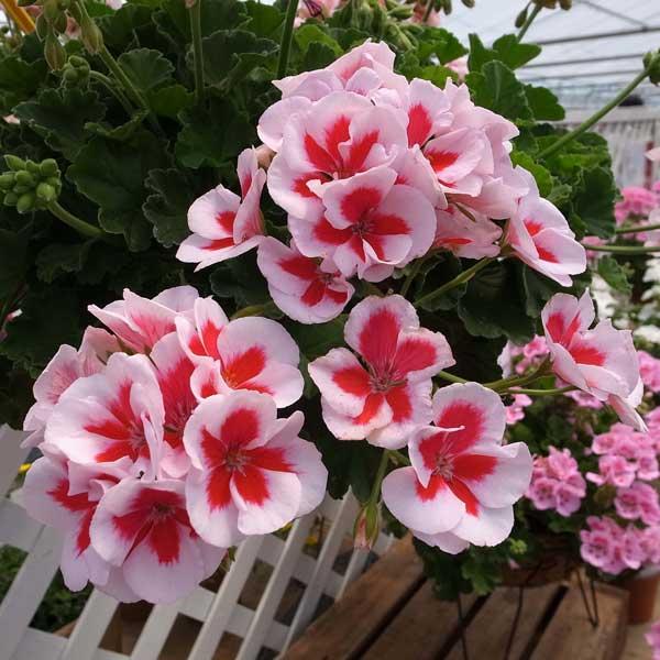 ゼラニウム:アメリカーナホワイトスプラッシュ5号鉢植え
