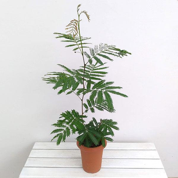 ネムノキ:エバーフレッシュ6号鉢植え