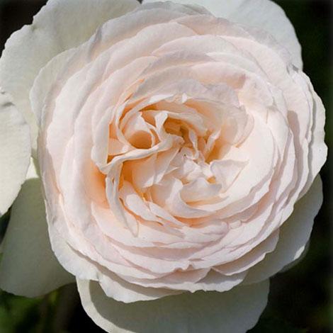 [長尺バラの大苗予約:第二弾]つるバラ:ブラン・ピエール・ド・ロンサール 大苗長尺6号ポット