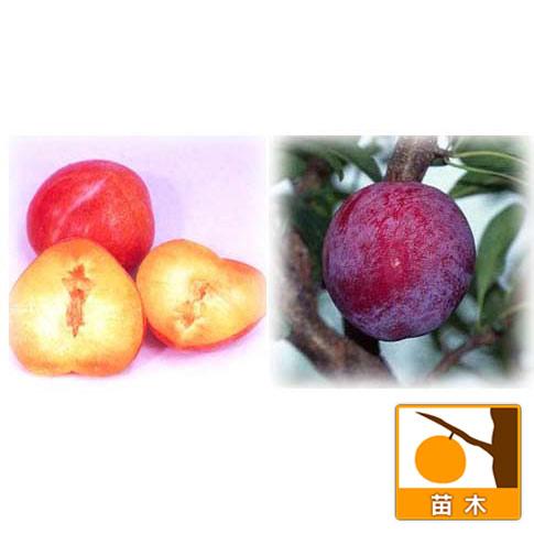 スモモ(プラム)2種受粉樹セット:サンタローザと太陽