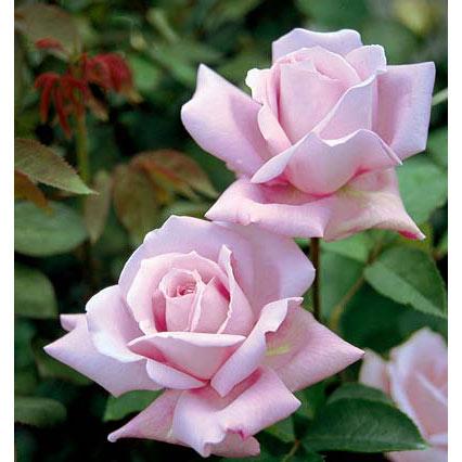 つるバラ:ブルームーン大苗