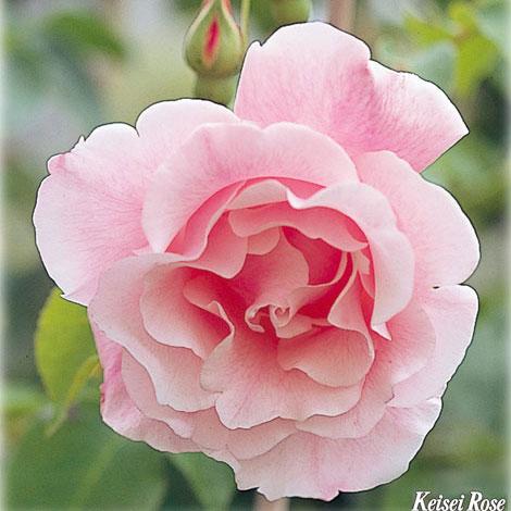 [長尺バラの大苗予約:第二弾]つるバラ:スパニッシュビューティ大苗長尺6号ポット