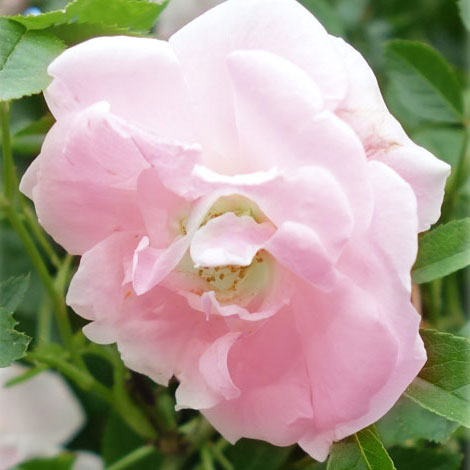 [長尺バラの大苗予約:第二弾]つるバラ:ピンクサマースノー(スプリングパル・春がすみ)大苗長尺6号ポット