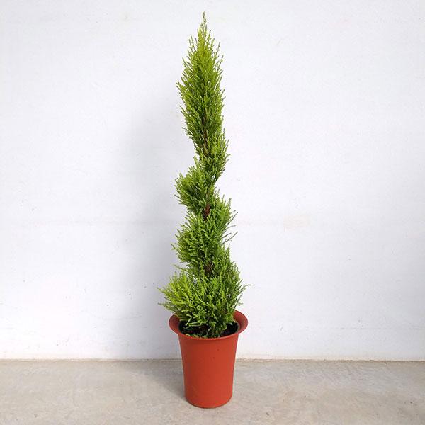 ゴールドクレスト・ウィルマらせんトピアリー6号鉢植え・高さ100cm