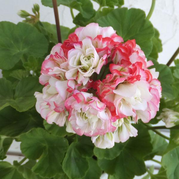 ゼラニウム:アップルブロッサムローズバッド4号鉢植え