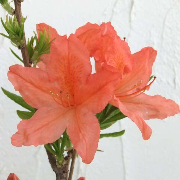 ツツジ:レンゲツツジ橙花(カバレンゲ)樹高40〜50cm根巻き