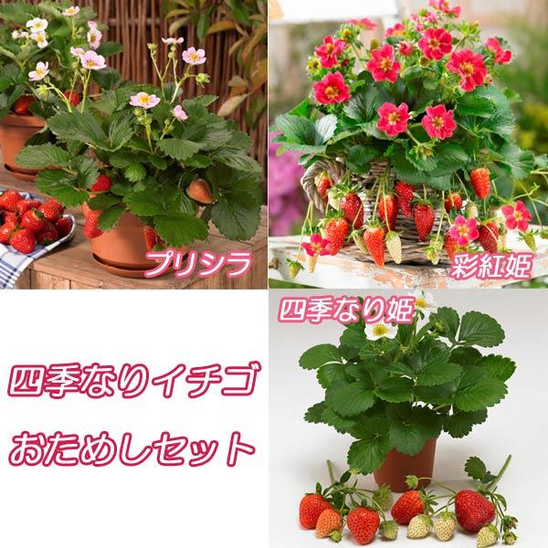 イチゴ:四季なりイチゴおためし3種6株セット(彩紅姫・プリシラ・四季なり姫 )