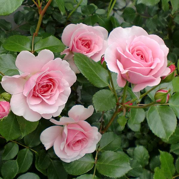 つるバラ:ピンク・ストリーム大苗