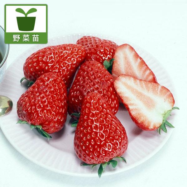 イチゴ:紅ほっぺ3号ポット 3株セット