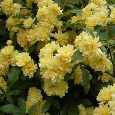 [送料無料]モッコウバラ:黄花3号ポット(八重咲き)28株セット