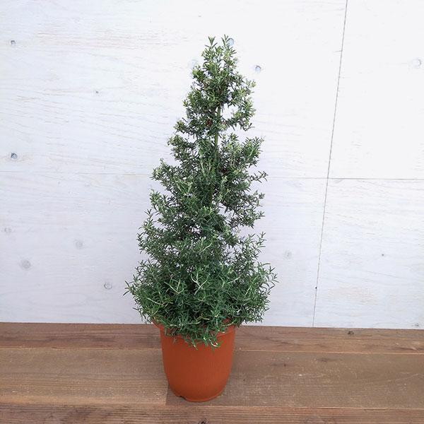 ツリー仕立て:ローズマリー7号鉢植え