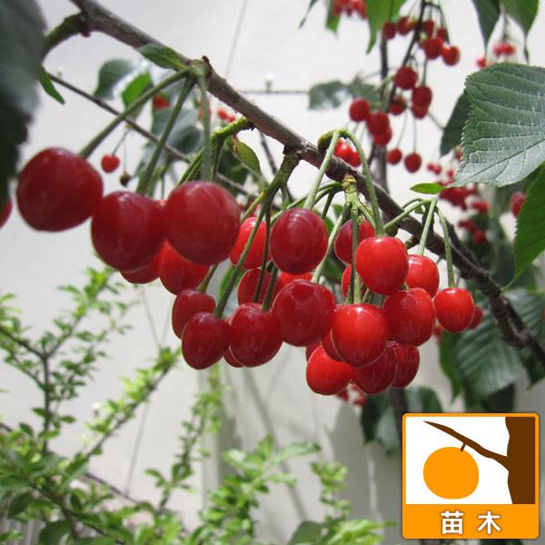 サクランボ:だんちおうとう(暖地桜桃)接木苗4〜5号ポット