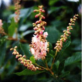 アメリカリョウブ:ピンクスパイヤー 樹高1m根巻きまたは地中ポット