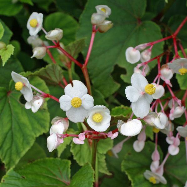 シュウカイドウ(秋海棠):ホワイト(白花)3号ポット