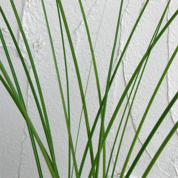 ススキ:糸ススキ3号ポット
