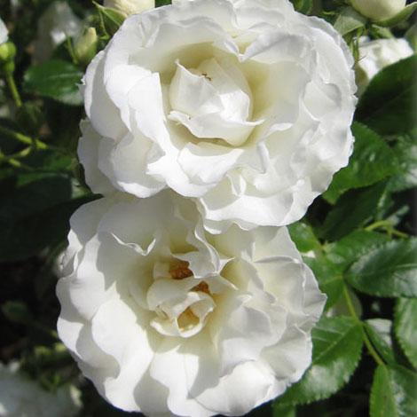 [長尺バラの大苗予約:第二弾]つるバラ:サマースノー 大苗長尺6号ポット