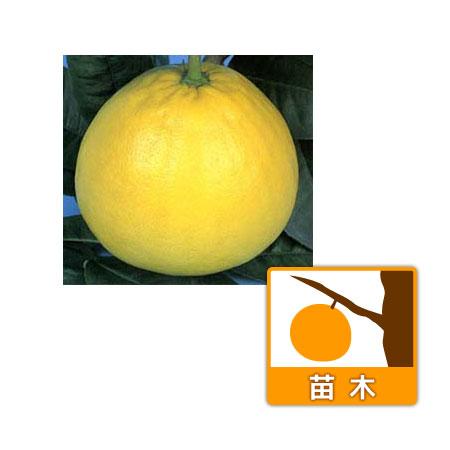 (わけあり特価)バンペイユ(晩白柚・ザボン)4〜5号ポット
