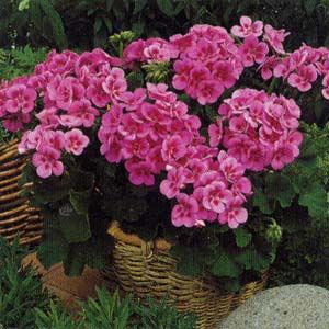 ゼラニウム:アメリカーナNEOローズスプラッシュ5号鉢植え