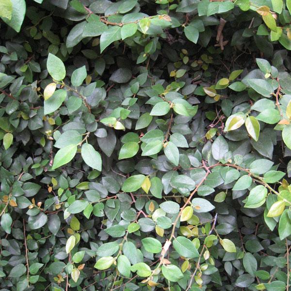 [送料無料]オオイタビ(フィカス プミラ):緑葉 3号ポット8株セット