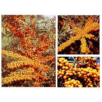 シーベリー受粉樹セット:メス木3種とオス木のセット