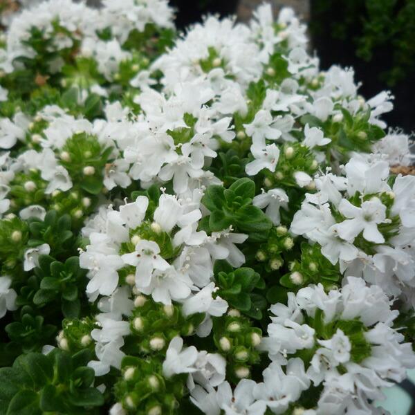 イブキジャコウ草 白花 3.5号ポット2株セット