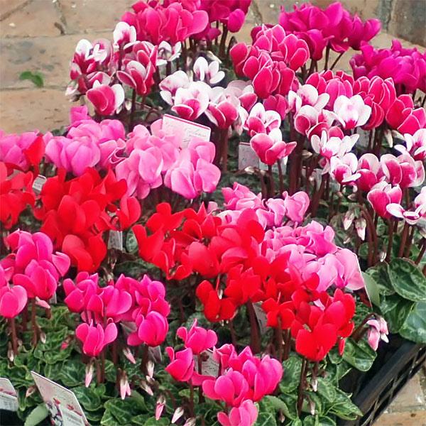 ガーデンシクラメン(ミニシクラメン):花色ミックス3号ポット6株セット*