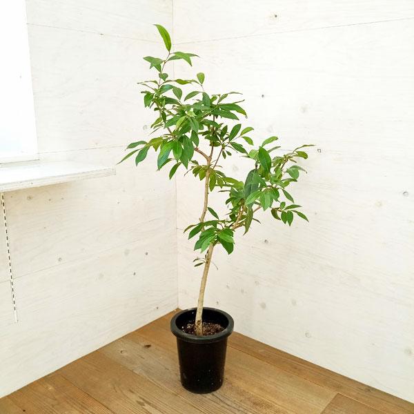 アマゾンオリーブ(ジャンボラン)曲げ仕立て8号鉢植え