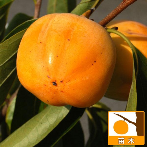 カキ(柿):種無し西条(たねなしさいじょう)接木苗4〜5号ポット